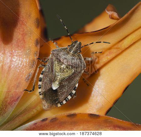 American Stink Bug