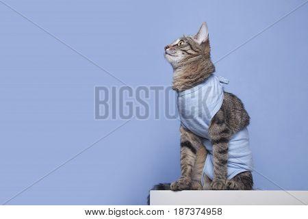 Postoperative bandage on a cat. Care of a pet after a cavitary operation (castration sterilization)