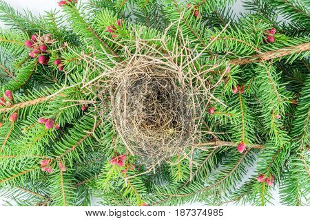 Close up of empty bird´s nest on flowering fir branch with red cones. Shot from above studio shot.