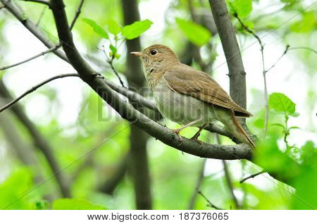 Ordinary nightingale, or eastern nightingale is one of the most famous and famous singers among birds.