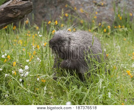Porcupine eating yellow and white flowers in spring
