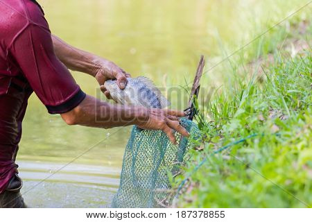 close-up Thai fisherman holding Tilapia fish into the green net