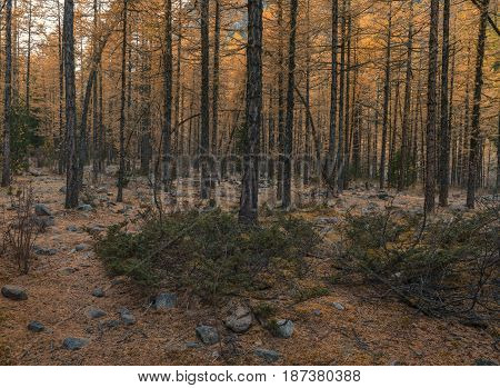Gloomy autumn forest, yellow larch trees on stony ground, Altai region, Siberia, Russia