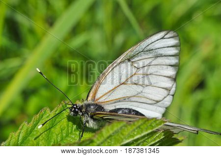 Aporia crataegi, Black Veined White butterfly in wild. White butterflies close-up