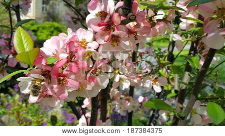Close-up of beautiful pink flowers of spring blooming tree