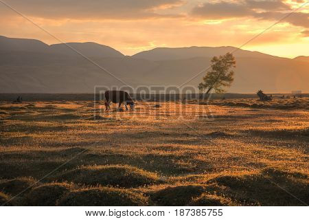 A cow grazing on an autumn field on the background of a mountain landscape and a setting sun, Altai region, Siberia, Russia