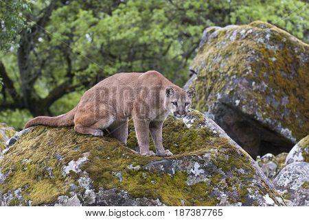 Mountain Lion On  Lichen Covered Rocks
