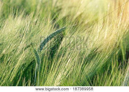 Wheat, oat, rye, barley - unripe agricultural field