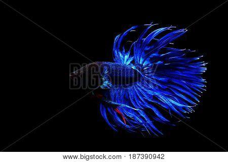Blue Thai Siamese Fighting Fish