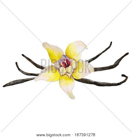 The closeup vanilla flower and beans isolated on white background watercolor illustration in hand-drawn style.