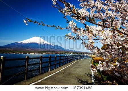 Yamanaka Lake With Sakura And Mt. Fuji