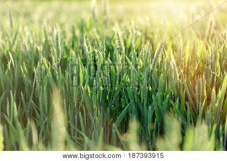 Unripe wheat (green wheat field) - green wheat field lit by sunlight