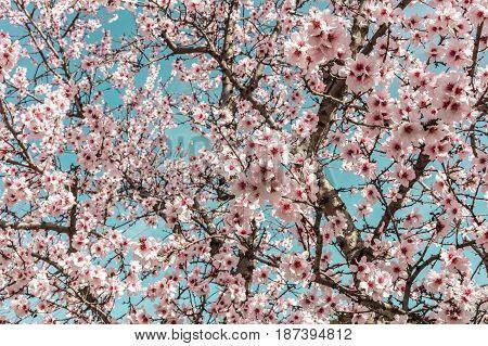 Almond trees in bloom in the Retiro park in Madrid, Spain. Selective focus