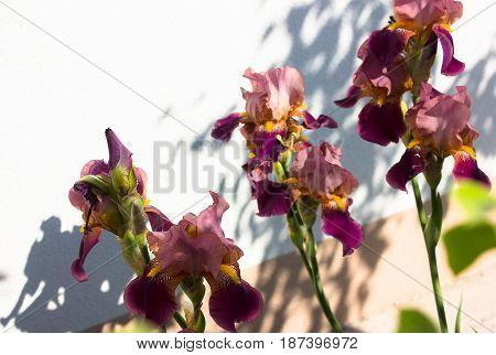 Close-up of a flower of bearded iris on white wall (Iris germanica). Flower bed of irises. Iridarius