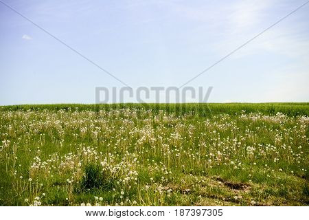 Blue sky shines behind hilltop covered with dandelions