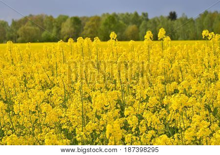 Spring field sown oilseed South Bohemia Czech Republic