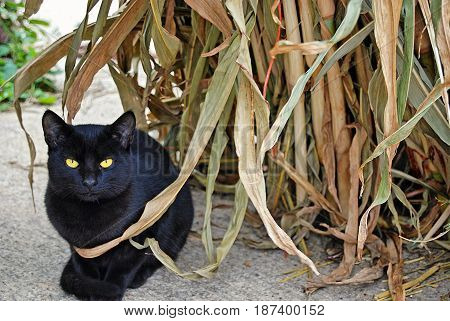 black cat crouching by autumn corns stalk decoration