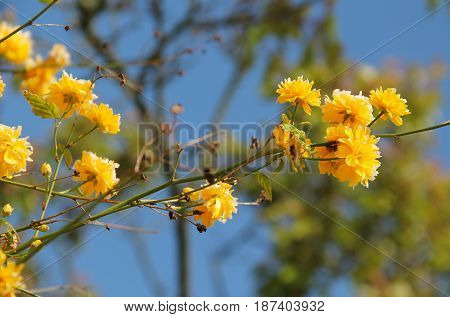 twig of Kerria japonica with beautiful yellow blooms on sunny spring day