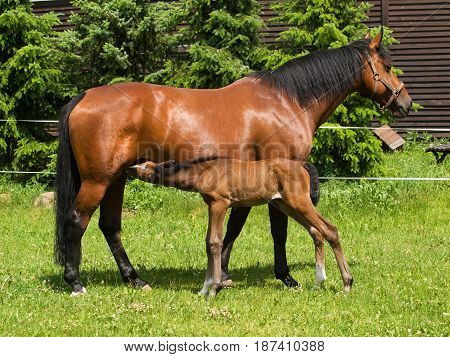 Foal sucking mothers milk from mare on pasture