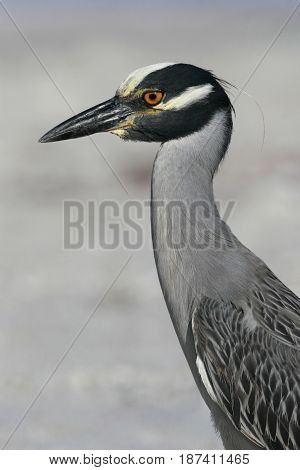 A Yellow Crowned Night Heron on a beach in Florida