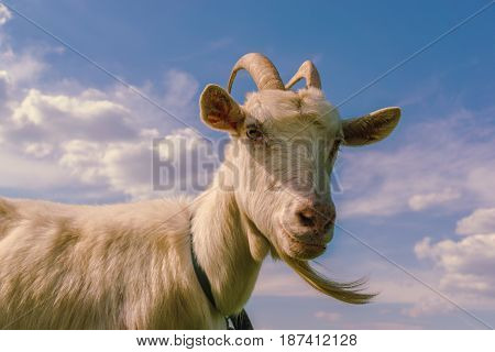 White goat is looking at the camera against the sky with clouds, toned