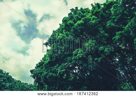 Dense crown of a large tree against a sky with clouds, toned