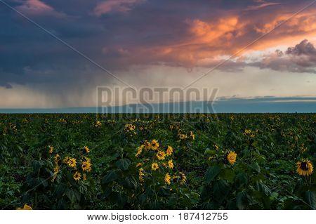 Sunflowers Field And Rain