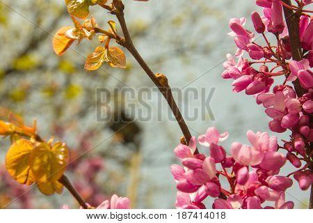 blossoming Judas Tree - Cercis siliquastrum plant at european street closeup