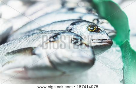 Bird dorado fish on ice background on the market closup of fresh marine products in restaurant useful dietary sea food group fish with shiny scales frozen seafood after catching fishermen