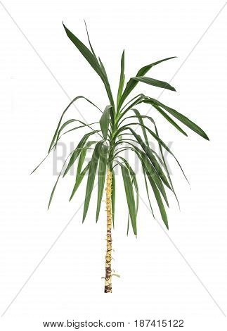 Leaf of palm tree isolated on a white background.