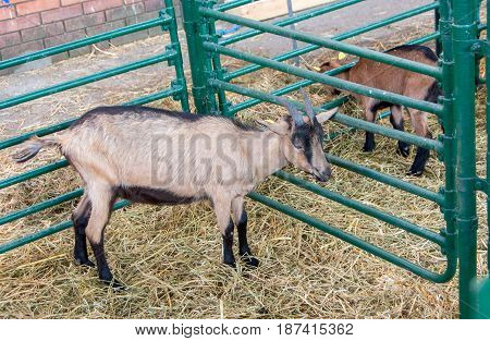 Single adult brown goat in cattle pen. Goat`s milk is good for health.