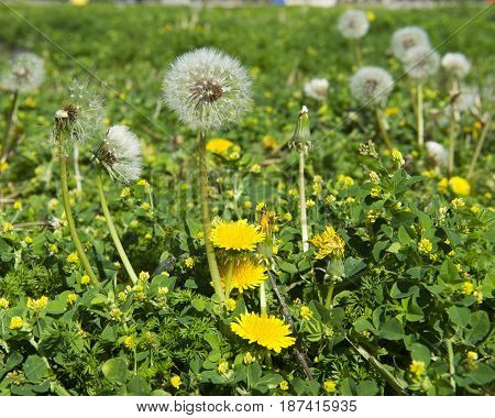 Dandelion Seeds And Flowers In Garden Or Lawn, Seeds Ready For Dispersal By Wind Or Touch