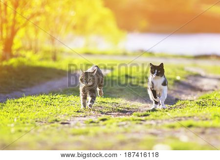 pair of cute funny cats fun running around on green grass in Sunny summer day