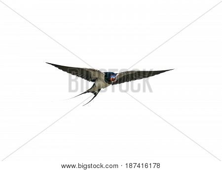 bird swallow flies straight wings on white isolated background