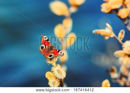 bright beautiful butterfly sitting on a yellow fluffy spring branches