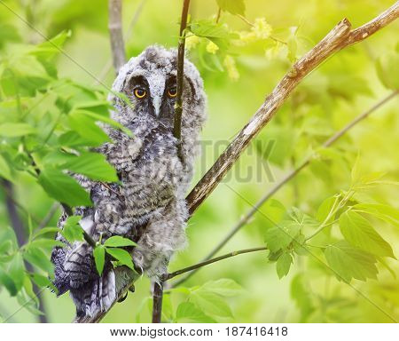 funny fluffy owl looks sitting among the bright foliage in a Sunny forest