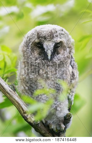 funny chick owl Napping in a green tree and spying
