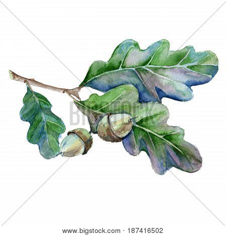 Oak branch with leaves and acorn. Isolated on white background. Watercolor illustration.