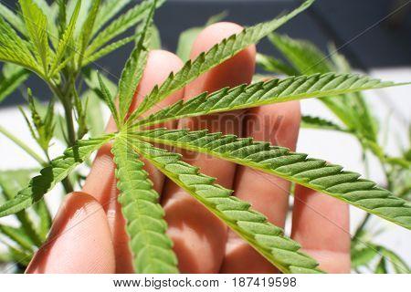 Marijuana Leaf In Hand Close Up High Quality