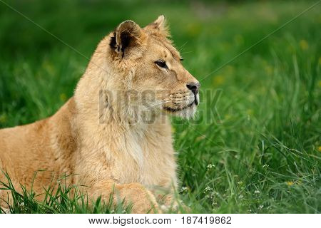 Lion In Green Grass