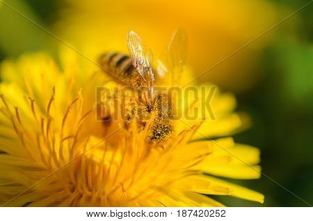 A close-up of a bee pollinates a yellow flower and is dusted with pollen