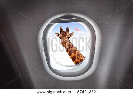 Comic portrait of giraffe looking through a plane's window during flight on high altitude