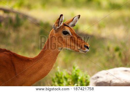 Close-up portrait of beautiful impala with tan coating coloration, Kenya, Africa