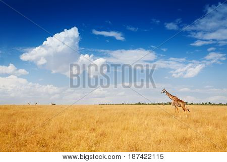 Beautiful scenic view of Kenyan savannah with giraffes walking in dried grass, Kenya, Africa