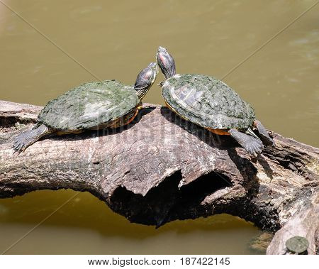 Three turtles sitting and sun bathing on a log