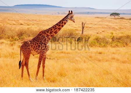 Side view portrait of adult Masai giraffe standing in arid Kenyan savannah