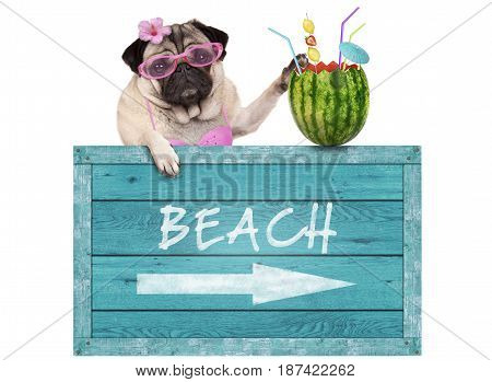 bikini babe pug dog with blue vintage wooden beach sign and watermelon cocktail isolated on white background