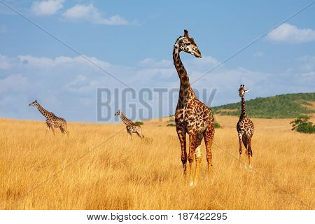 Herd of Masai giraffes walking in the arid savannah of Kenya, Africa