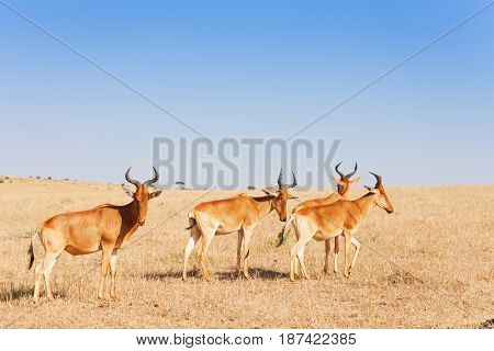 Herd of savannah antelopes topis pasturing in Maasai Mara National Reserve, Africa