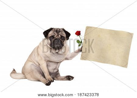lovely cute pug puppy dog sitting down holding blank vintage paper scroll isolated on white background